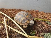 Breitrandschildkröten Testudo Marginata DNZ 2020