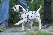 Dalmatinerwelpen 11 Wochen mit VDH