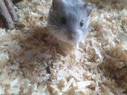 Artreine campbell Hamster