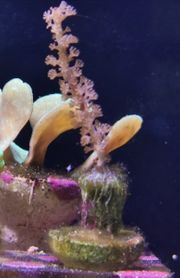 Meerwasser Ableger SPS LPS Gorgonie