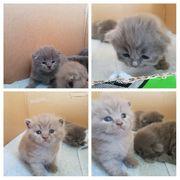 BKH Kitten reinrassig Blue Lilac