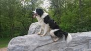 Border Collie Deckrüde