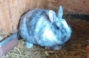 Zwergkaninchen Röhn Kaninchen grau weiß