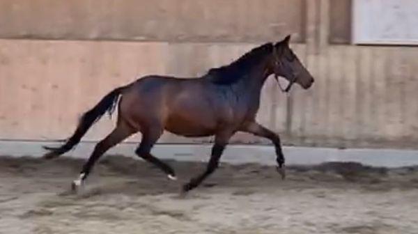 RARITÄT 3-jährige Ponystute zu verkaufen
