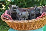 Wunderschöne Französische Bulldogge Welpen