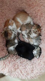 BKH Mix Katzen
