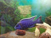 Malawi Barsche Alunocara FireFisch Blauer