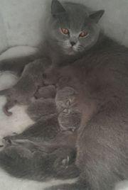 BKH Reinrassig Kitten