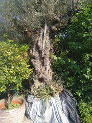 2 Olivenbäume Verkaufe große besondere
