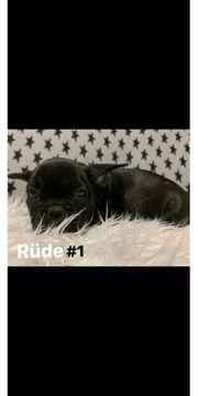 Französische Bulldoggen Welpen suchen tolles