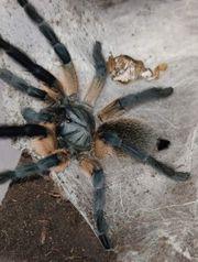 3 Monocentropus balfouri Weibchen adult