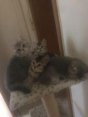 4 süßen reinrassigen BKH Kitten