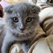 BKH Britisch Kurzhaar Kitten scottisch