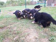 Langhaar Schäferhund Welpen vom Malchiner