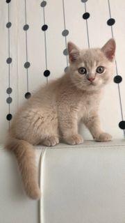 BKH Kitten 2 Kater - abgabebereit