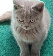 Verschmuste reinrassige BKH Kätzchen