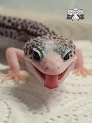 Super Galaxy leopardgecko Babys