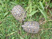 Landschildkröten Zuchtgruppe 3 Tiere Testudo