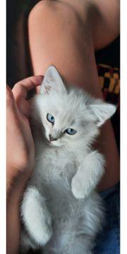 Britisch Kurzhaar Kitten BKH kätzchen
