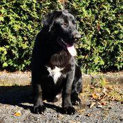 Berner Sennenhund- Labrador Mix Rüde