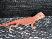 Bartagame extrem Red Rot Hypotrans