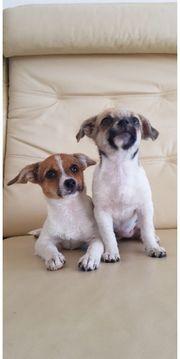 Wunderschöne Chihuahua Welpen in 3