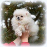 Pomeranian Zwergspitz Mini Welpen suchen