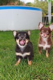 Chihuahua welpen suchen neues Zuhause