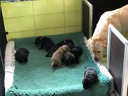 Labrador Welpen mit Stammbaum Abgabe
