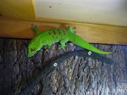 Phelsuma grandis Großer Madagaskar-Taggecko adultes