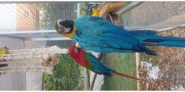 Vögel - Dunkelroter Ara und Gelbbrustara