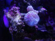 Caulastrea Tumida Blau - Fingerkoralle