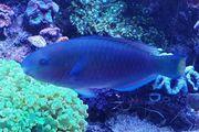 Papagaien Fisch paar Meerwasser