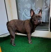 Französische Bluetan Bulldog