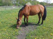 Pferd sucht neues Zuhause