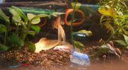 Welse L144 longfin Spalterbig Zuchttiere