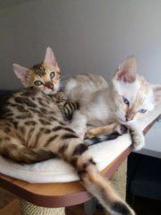TOP Reinrassig Bengal kitten