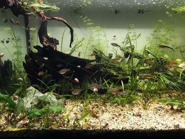 Aquarium Süßwasserfische