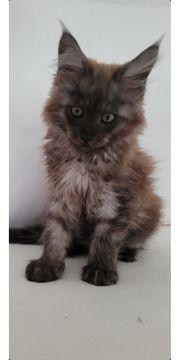 Maine coon Kitten in Black
