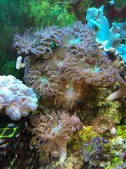 Sandanemonen Meerwasser Korallen