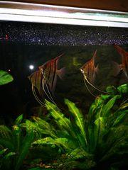Rotrücken Skalare Jungteire 12-15cm