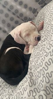 American Bully sucht zuhause
