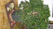 Geldbaum Blume