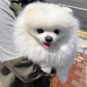 Pomeranian Zpt