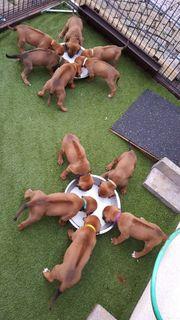Rhodesian Ridgeback Puppy s