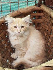 Norwegische waldkatze-Kater- zu verkaufen