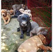 Reinrassige Labrador Welpen Charcoale Silber