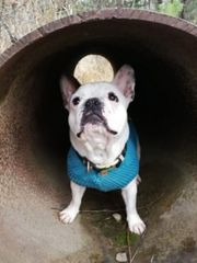 Hundepullover für französische Bulldogge und