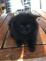 Pomeranian Spitz Welpe Rüde schwarz