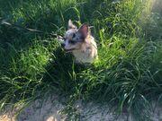 Suche Chihuahua Deckrüde